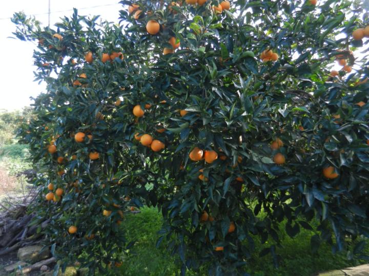 Ultimo ordine arance tarocco